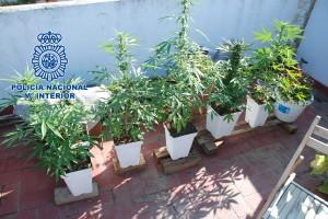 Marihuana - Policia