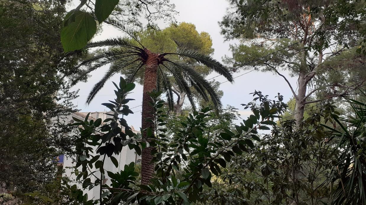 El picudo rojo ataca las palmeras canarias de la Desembocadura del Millars.
