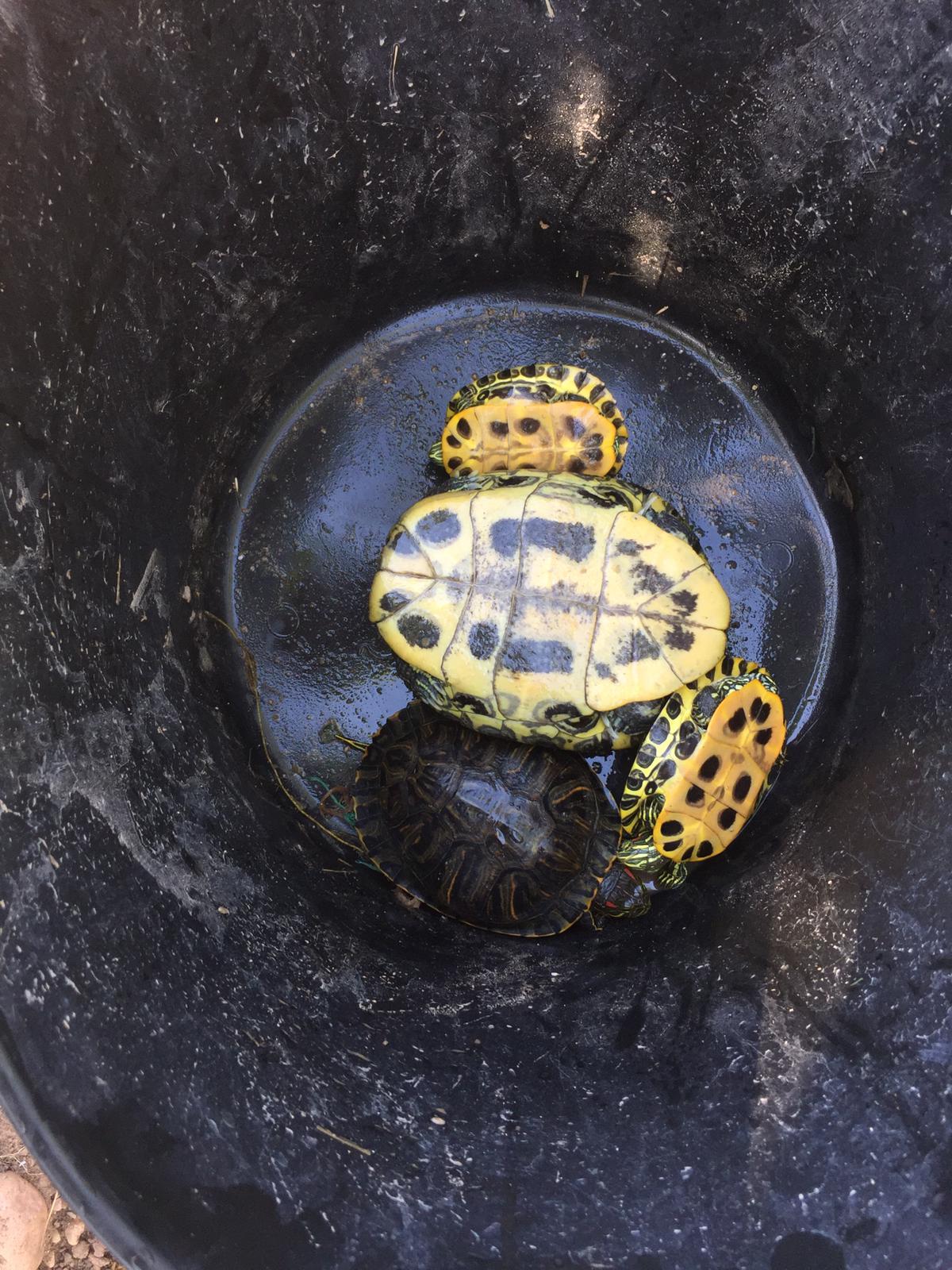 Borriana arranca una campaña para la conservación de las tortugas autóctonas del Clot de la Mare de Déu