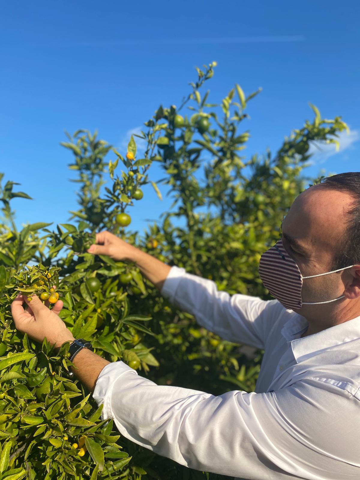 Cs de la Diputación pide medidas para que las plagas no condenen la recuperación del sector citrícola